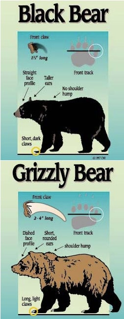 bear-differances2